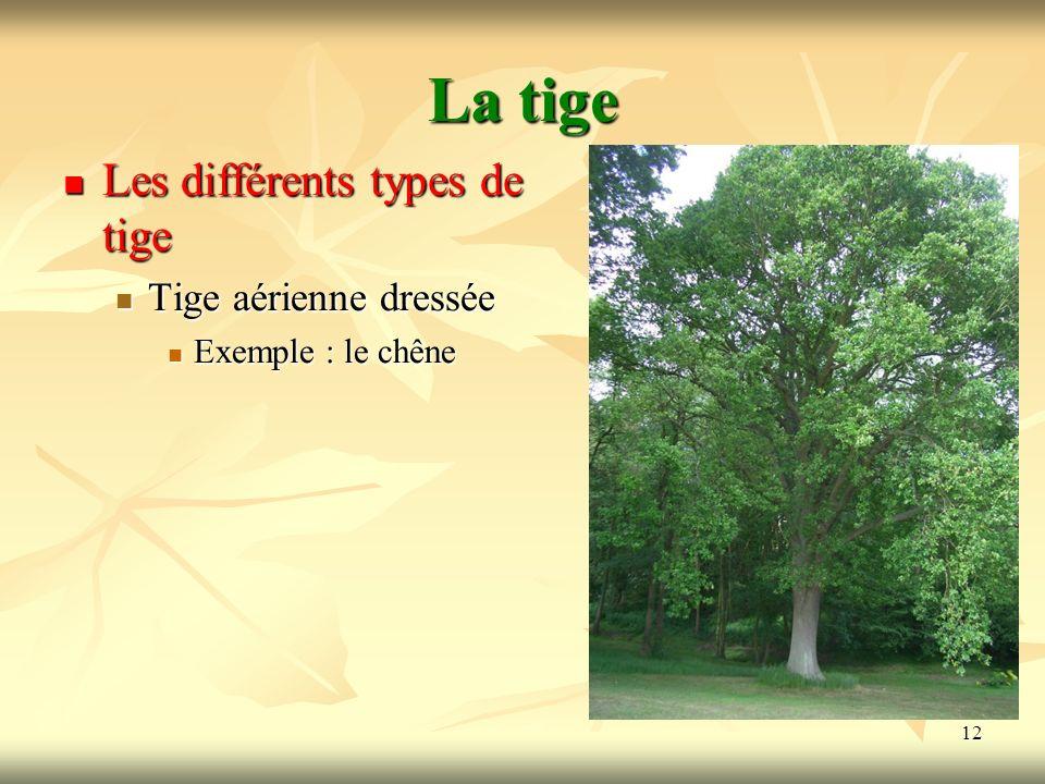 12 La tige Les différents types de tige Tige aérienne dressée Exemple : le chêne