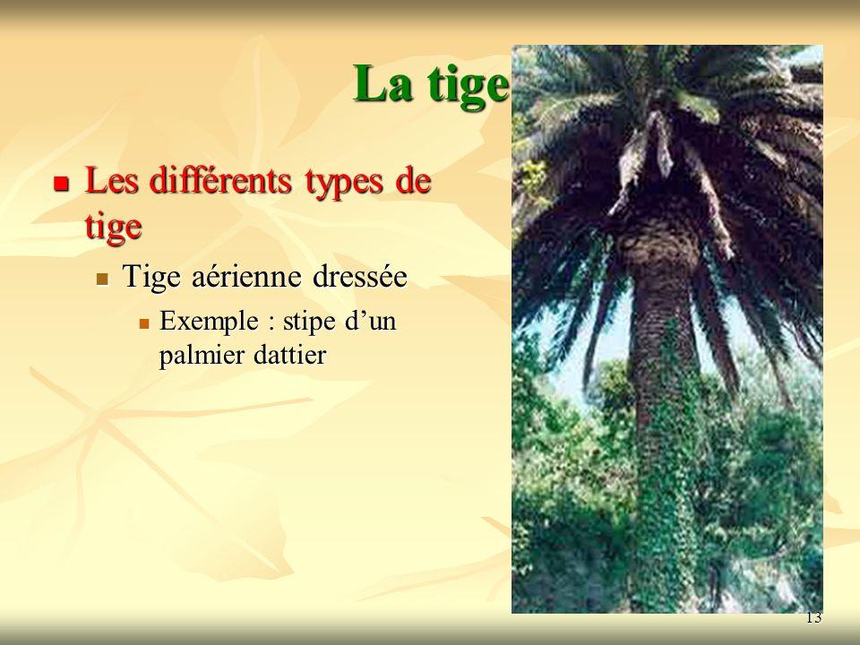 13 La tige Les différents types de tige Tige aérienne dressée Exemple : stipe dun palmier dattier 13