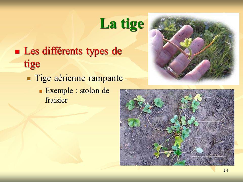 14 La tige Les différents types de tige Tige aérienne rampante Exemple : stolon de fraisier