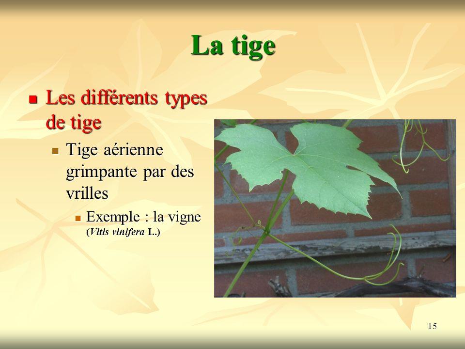 15 La tige Les différents types de tige Tige aérienne grimpante par des vrilles Exemple : la vigne (Vitis vinifera L.)