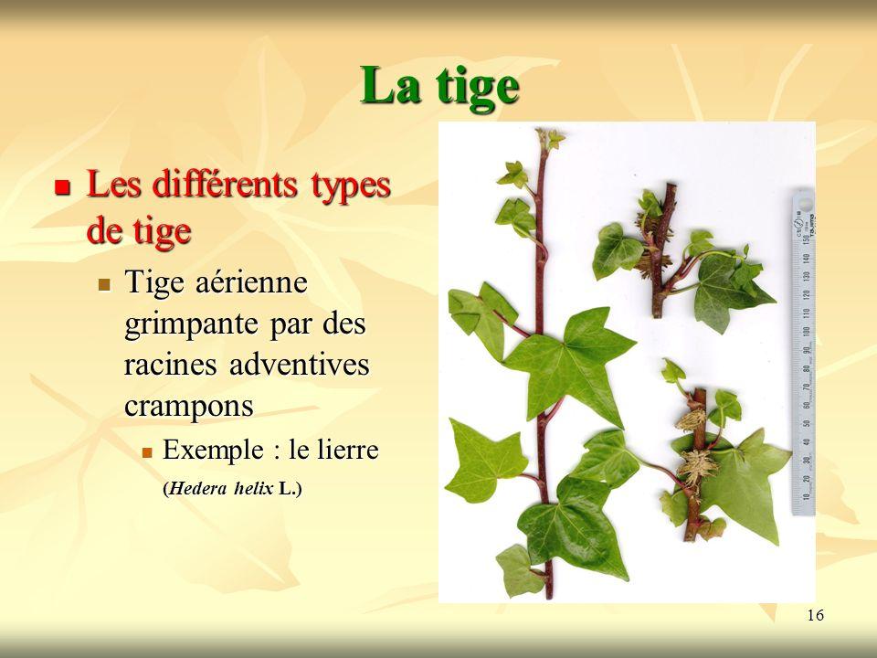 16 La tige Les différents types de tige Tige aérienne grimpante par des racines adventives crampons Exemple : le lierre (Hedera helix L.)