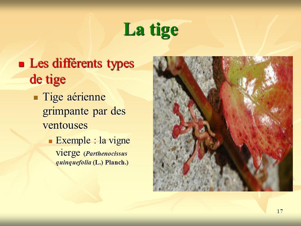 17 La tige Les différents types de tige Tige aérienne grimpante par des ventouses Exemple : la vigne vierge (Parthenocissus quinquefolia (L.) Planch.)