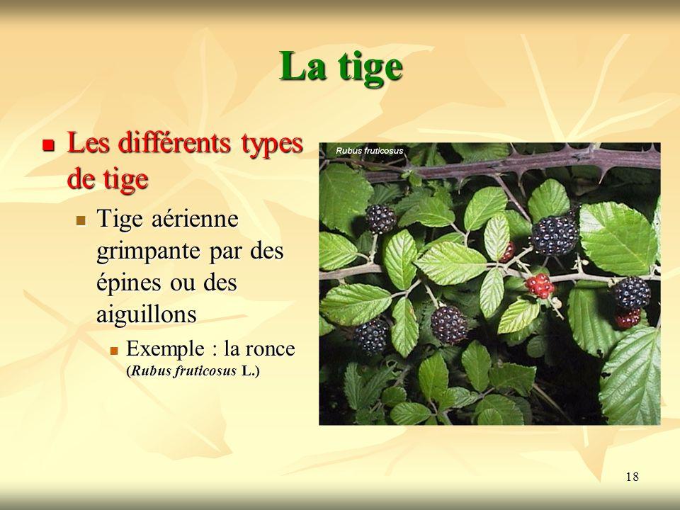 18 La tige Les différents types de tige Tige aérienne grimpante par des épines ou des aiguillons Exemple : la ronce (Rubus fruticosus L.)