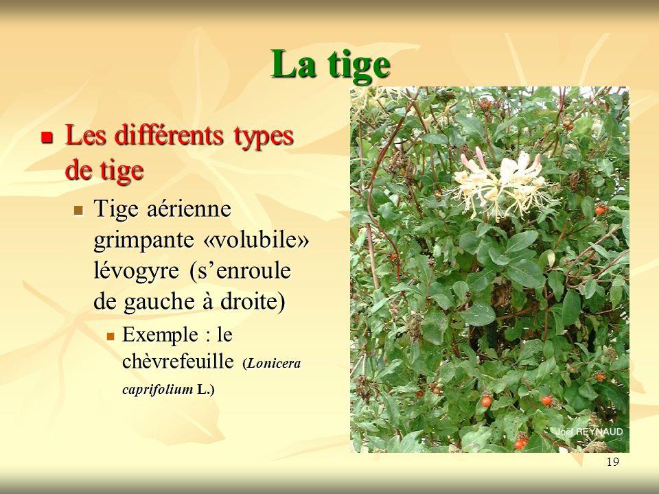 19 La tige Les différents types de tige Tige aérienne grimpante «volubile» lévogyre (senroule de gauche à droite) Exemple : le chèvrefeuille (Lonicera