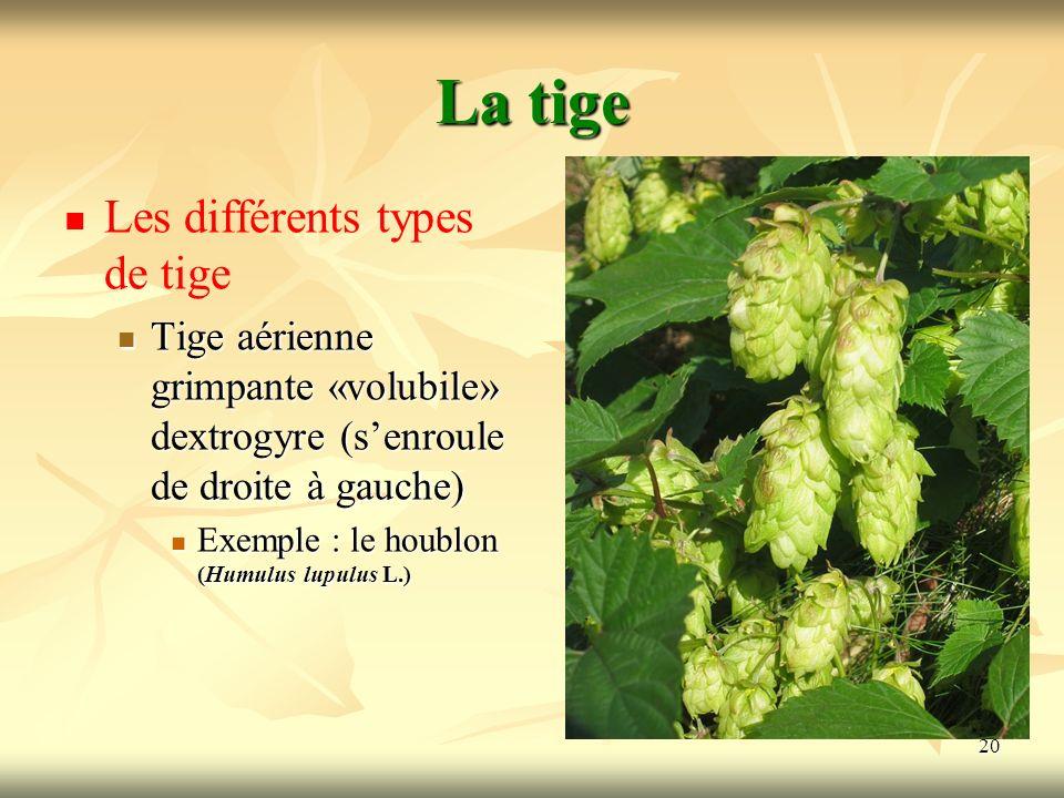 20 La tige Les différents types de tige Tige aérienne grimpante «volubile» dextrogyre (senroule de droite à gauche) Exemple : le houblon (Humulus lupu