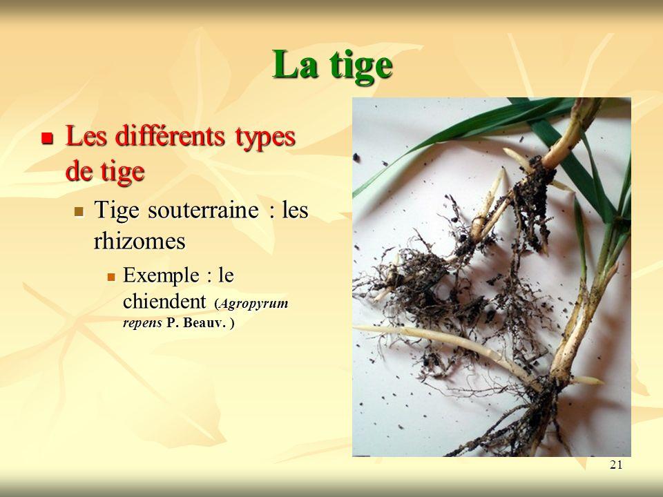 21 La tige Les différents types de tige Tige souterraine : les rhizomes Exemple : le chiendent (Agropyrum repens P. Beauv. )