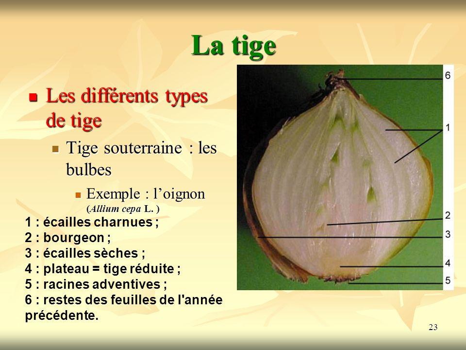 23 La tige Les différents types de tige Tige souterraine : les bulbes Exemple : loignon (Allium cepa L. ) 1 : écailles charnues ; 2 : bourgeon ; 3 : é