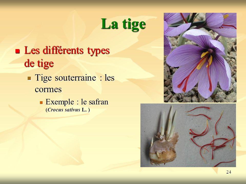 24 La tige Les différents types de tige Tige souterraine : les cormes Exemple : le safran (Crocus sativus L. )