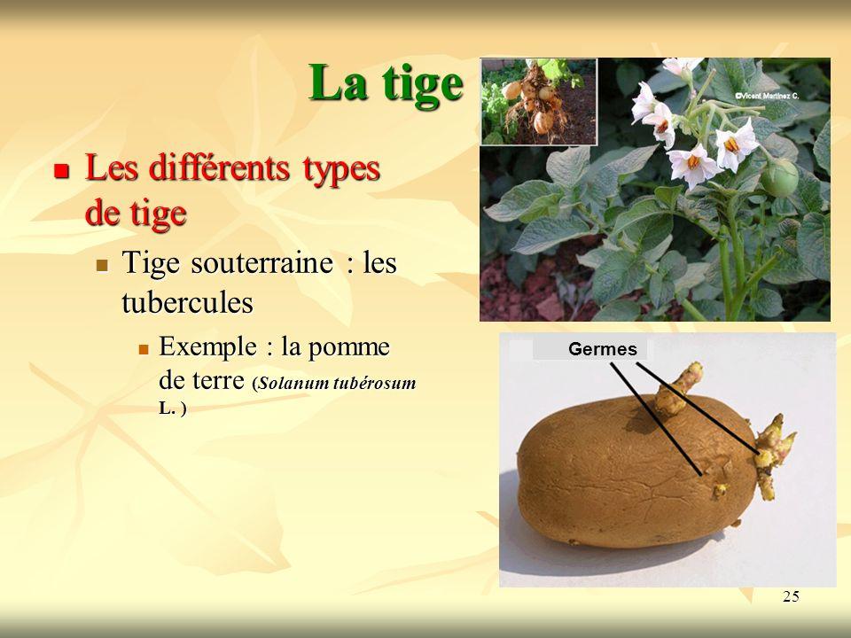 25 La tige Les différents types de tige Tige souterraine : les tubercules Exemple : la pomme de terre (Solanum tubérosum L. ) Germes