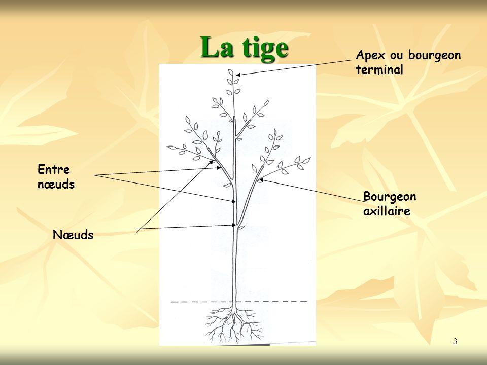 3 La tige Nœuds Entre nœuds Apex ou bourgeon terminal Bourgeon axillaire
