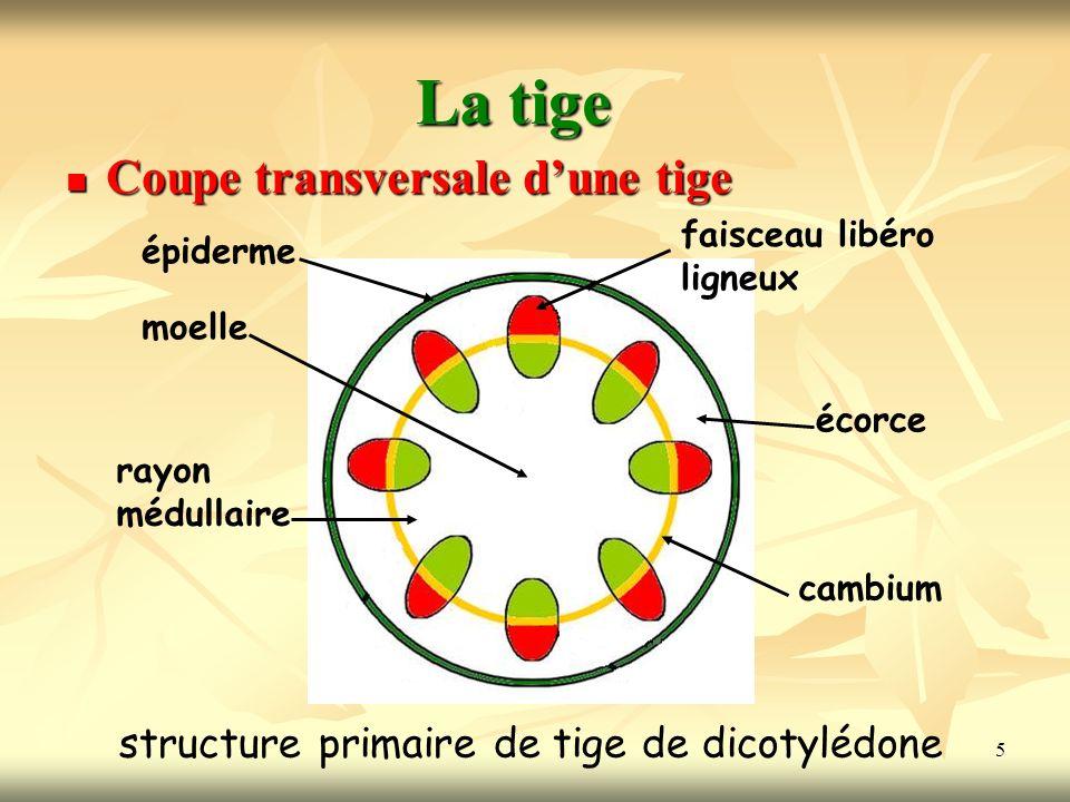 5 La tige Coupe transversale dune tige structure primaire de tige de dicotylédone épiderme moelle rayon médullaire faisceau libéro ligneux écorce camb