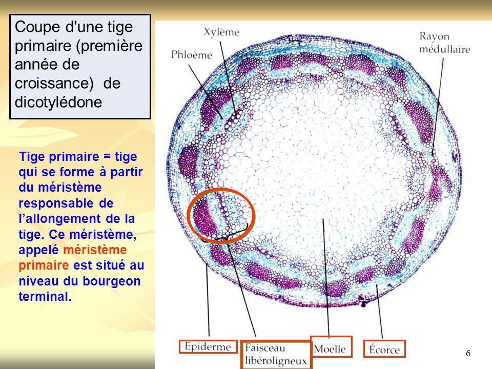 6 Coupe d'une tige primaire (première année de croissance) de dicotylédone Tige primaire = tige qui se forme à partir du méristème responsable de lall