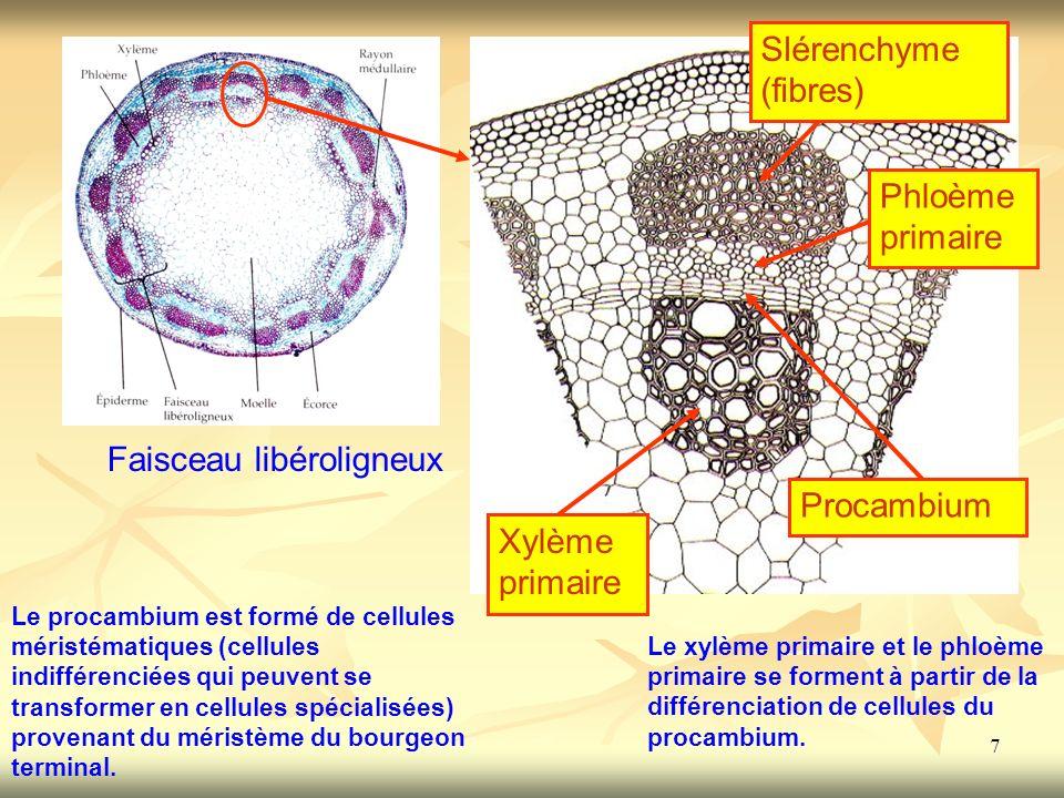 7 Phloème primaire Xylème primaire Procambium Faisceau libéroligneux Le procambium est formé de cellules méristématiques (cellules indifférenciées qui