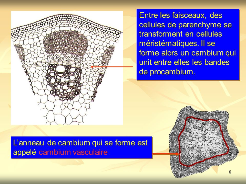 8 Entre les faisceaux, des cellules de parenchyme se transforment en cellules méristématiques. Il se forme alors un cambium qui unit entre elles les b