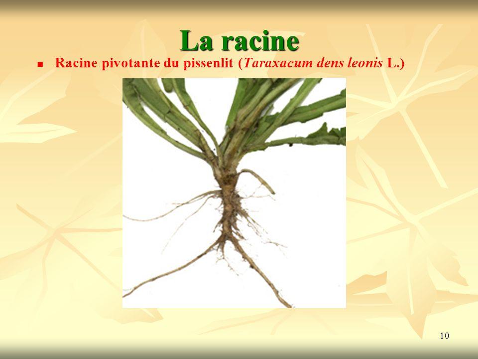 10 La racine Racine pivotante du pissenlit (Taraxacum dens leonis L.)