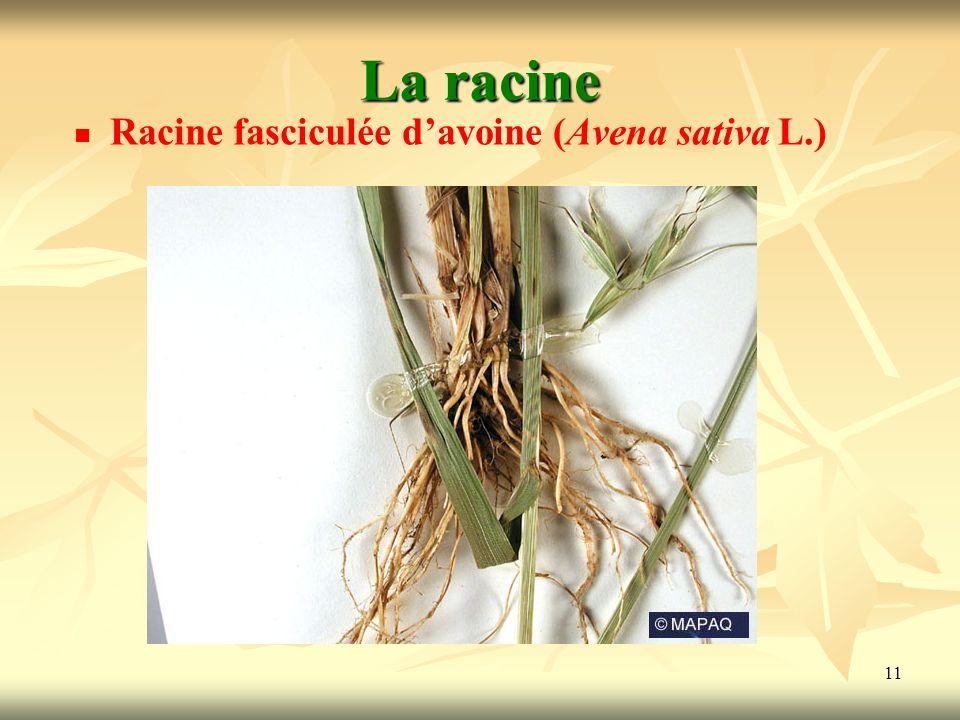 11 La racine Racine fasciculée davoine (Avena sativa L.)