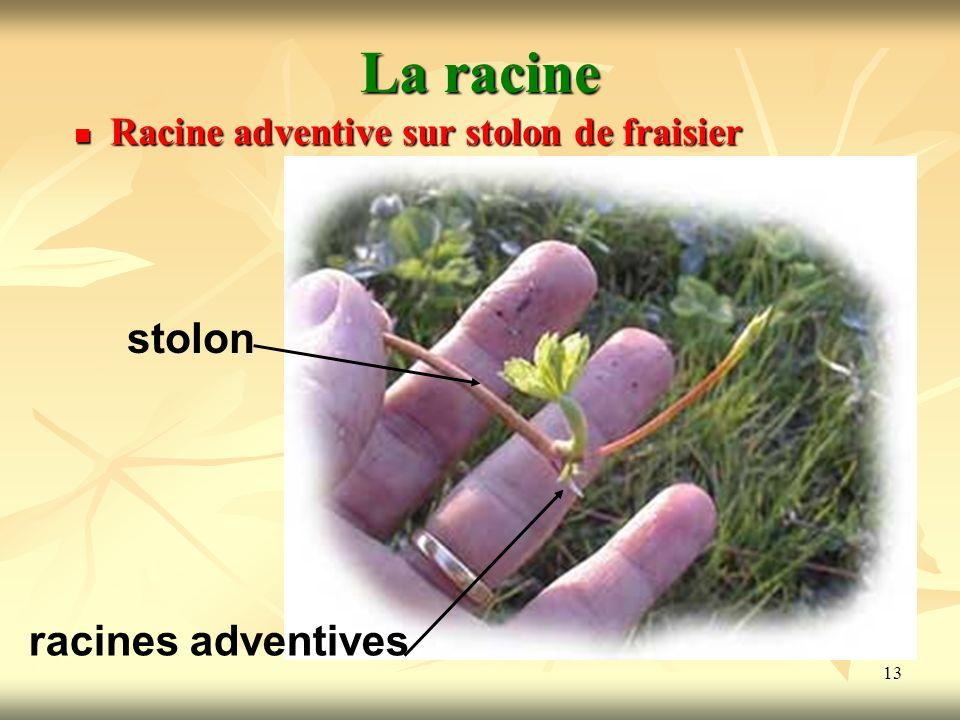 13 La racine Racine adventive sur stolon de fraisier stolon racines adventives