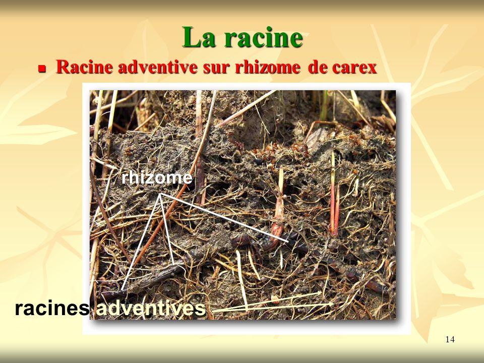 14 La racine Racine adventive sur rhizome de carex racines adventives