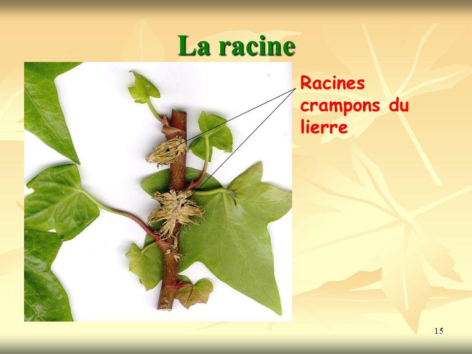 15 La racine Racines crampons du lierre
