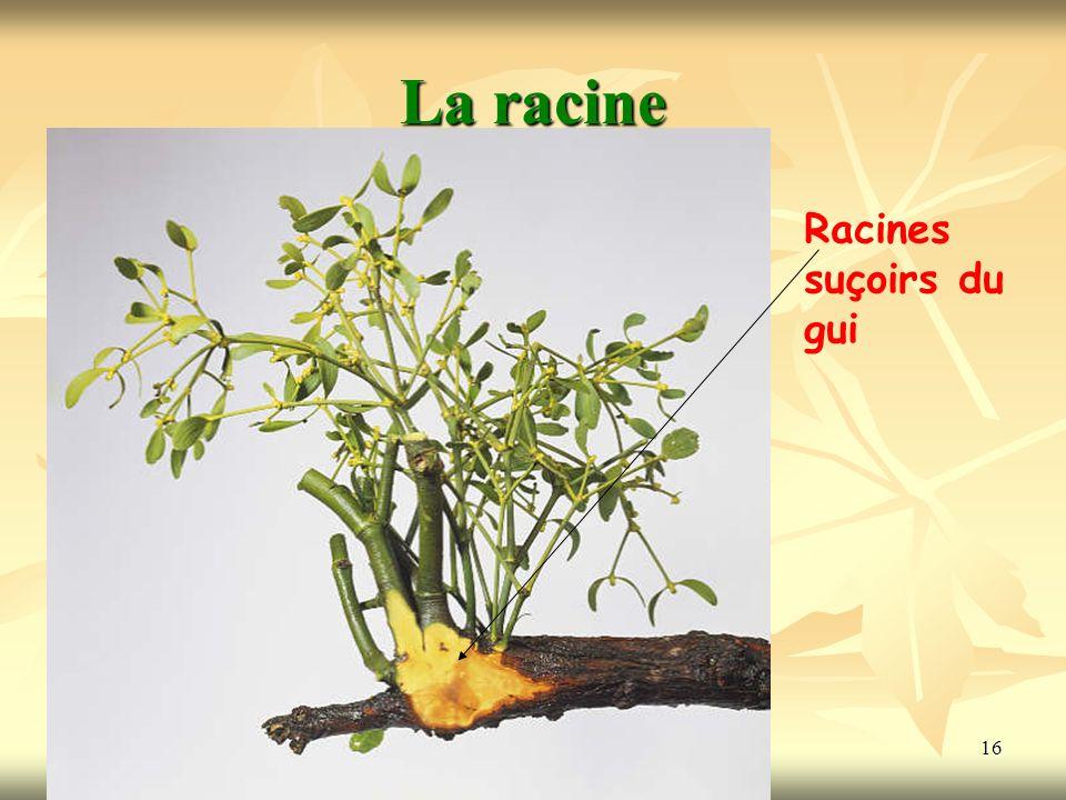 16 La racine Racines suçoirs du gui