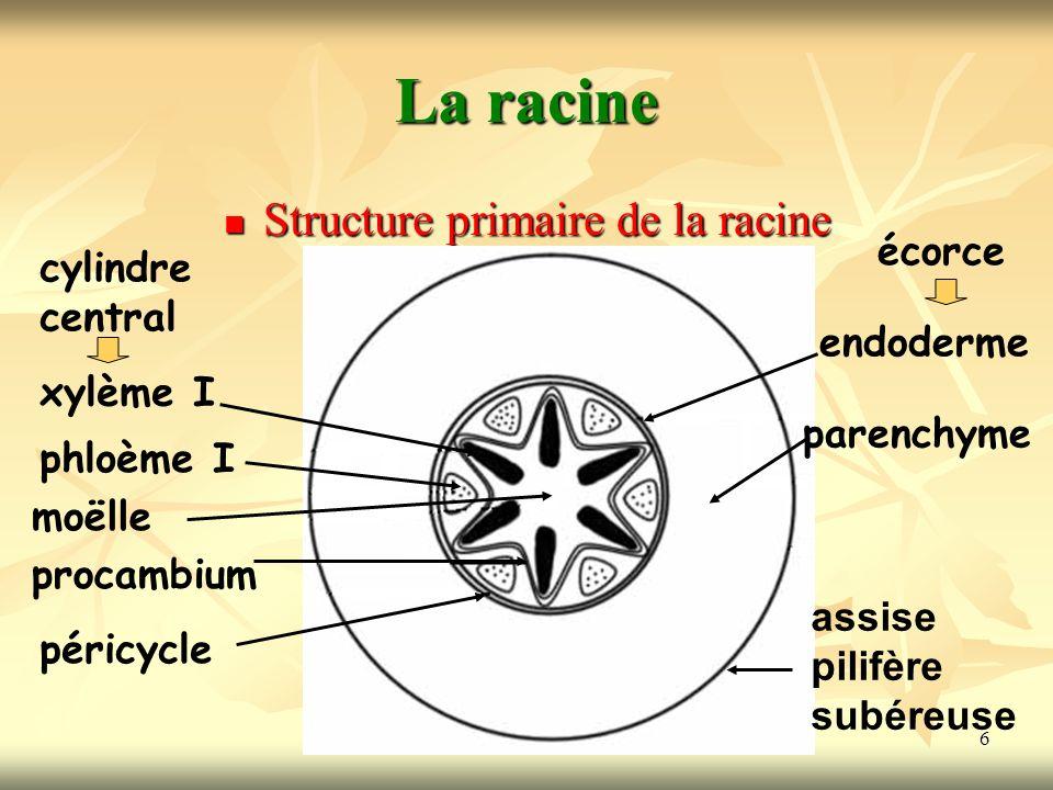 6 La racine Structure primaire de la racine xylème I phloème I moëlle procambium péricycle cylindre central endoderme parenchyme assise pilifère subéreuse écorce