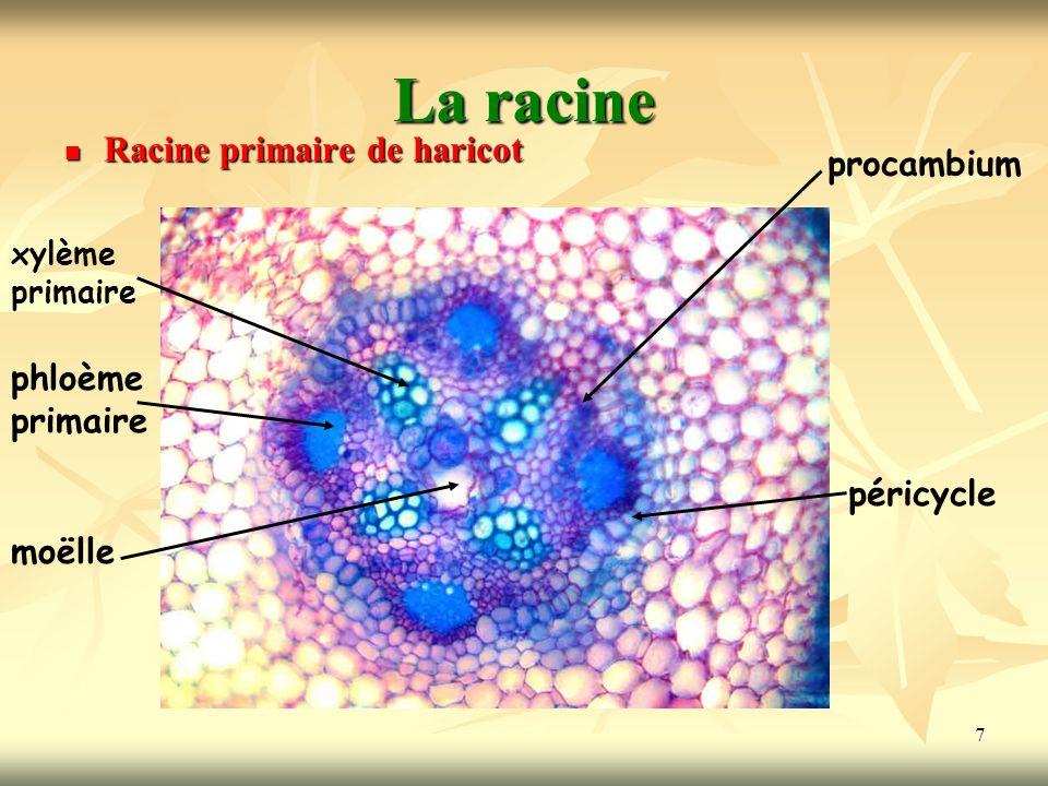 7 La racine Racine primaire de haricot xylème primaire phloème primaire moëlle procambium péricycle