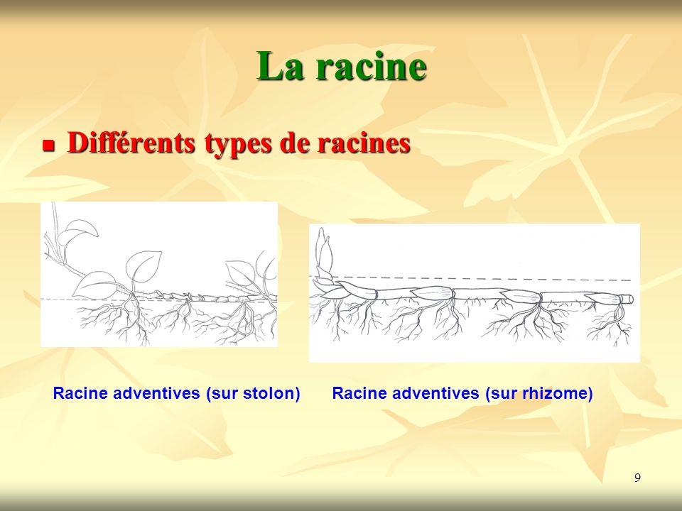 9 La racine Différents types de racines Racine adventives (sur stolon)Racine adventives (sur rhizome)