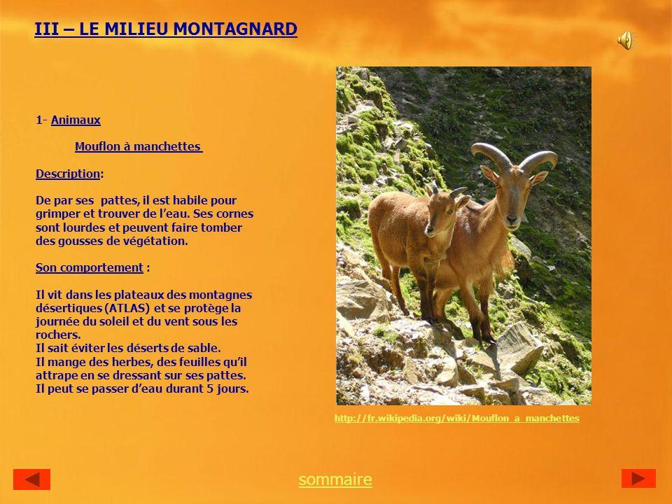 III – LE MILIEU MONTAGNARD 1- Animaux Mouflon à manchettes Description: De par ses pattes, il est habile pour grimper et trouver de leau.