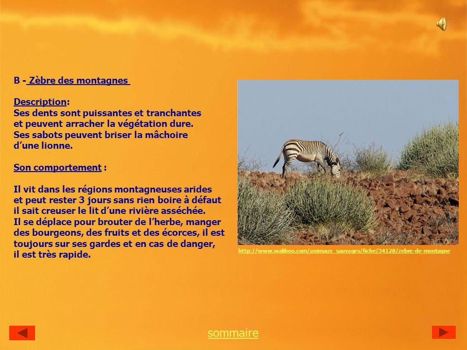 B - Zèbre des montagnes Description: Ses dents sont puissantes et tranchantes et peuvent arracher la végétation dure.