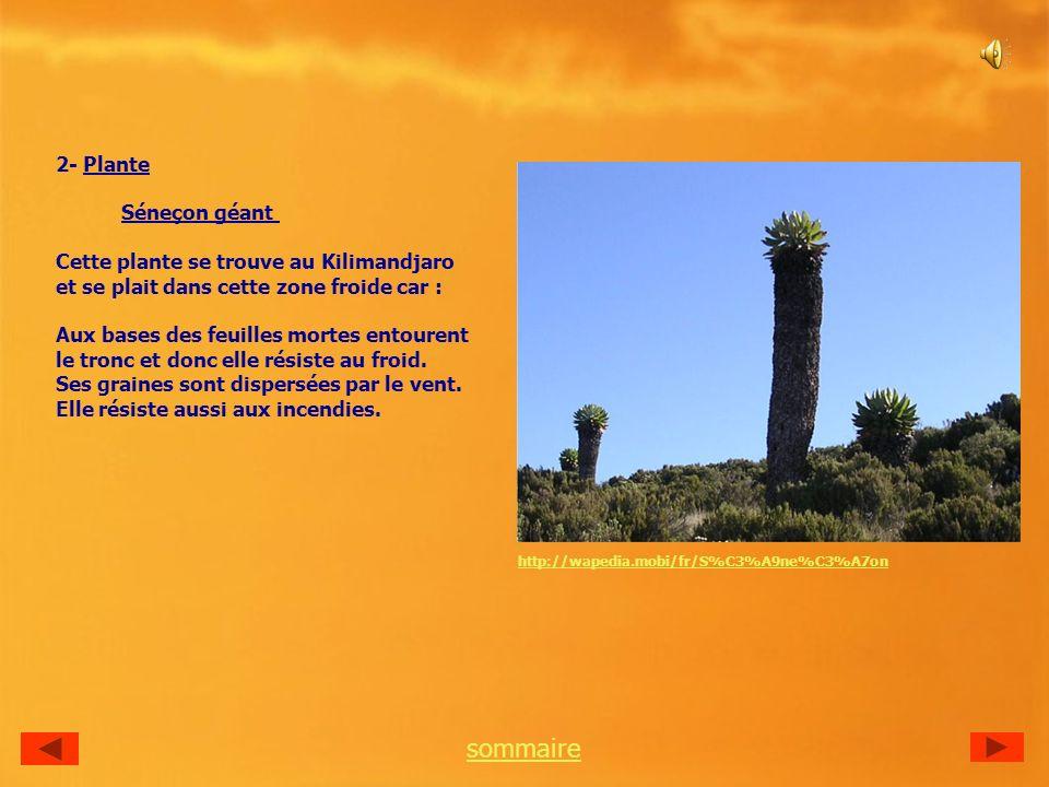 2- Plante Séneçon géant Cette plante se trouve au Kilimandjaro et se plait dans cette zone froide car : Aux bases des feuilles mortes entourent le tronc et donc elle résiste au froid.