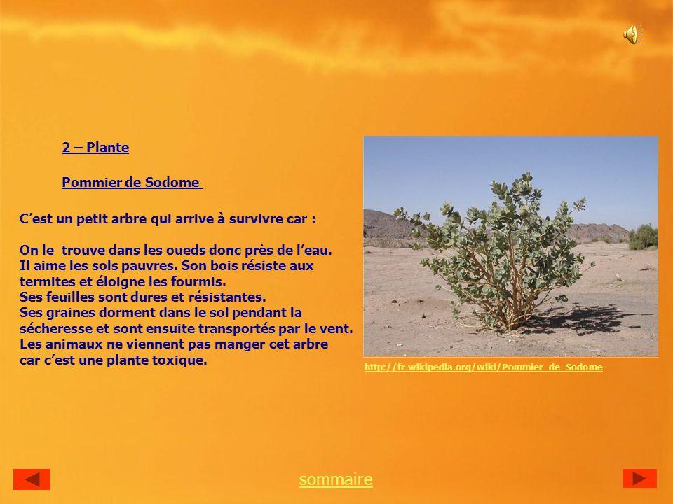 2 – Plante Pommier de Sodome Cest un petit arbre qui arrive à survivre car : On le trouve dans les oueds donc près de leau.