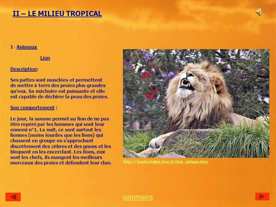II – LE MILIEU TROPICAL 1- Animaux Lion Description: Ses pattes sont musclées et permettent de mettre à terre des proies plus grandes queux.