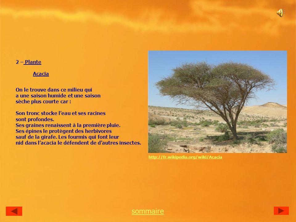 2 – Plante Acacia On le trouve dans ce milieu qui a une saison humide et une saison sèche plus courte car : Son tronc stocke leau et ses racines sont profondes.