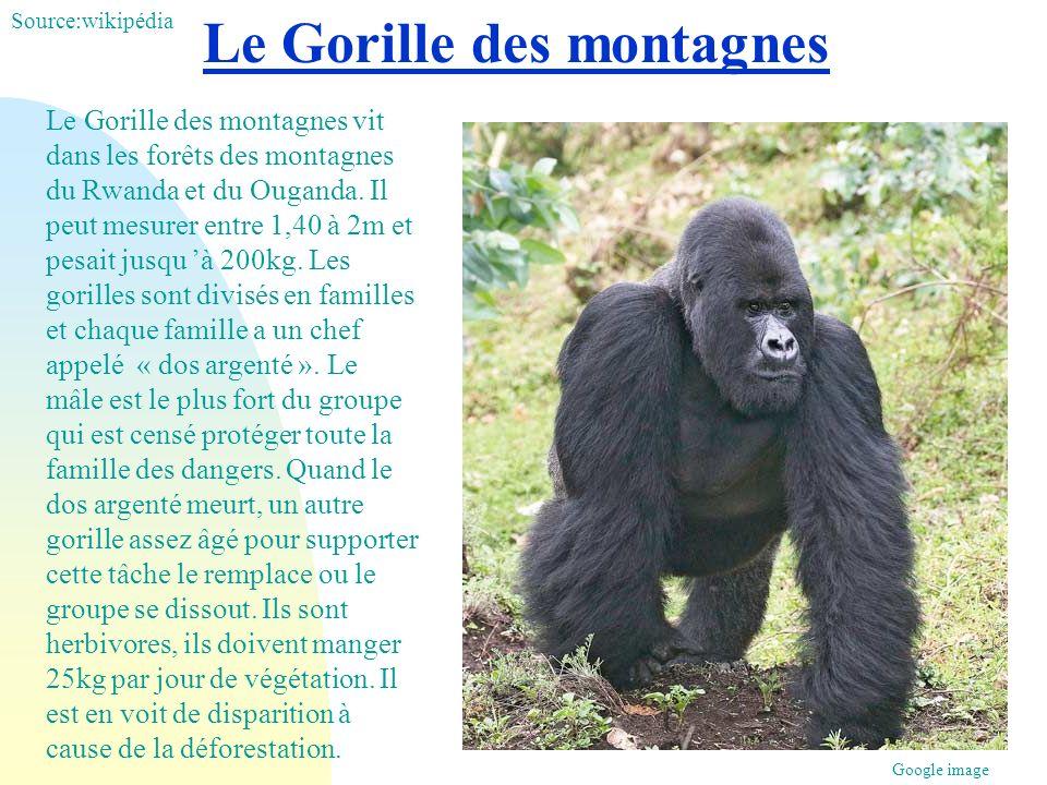 Le Gorille des montagnes Le Gorille des montagnes vit dans les forêts des montagnes du Rwanda et du Ouganda. Il peut mesurer entre 1,40 à 2m et pesait