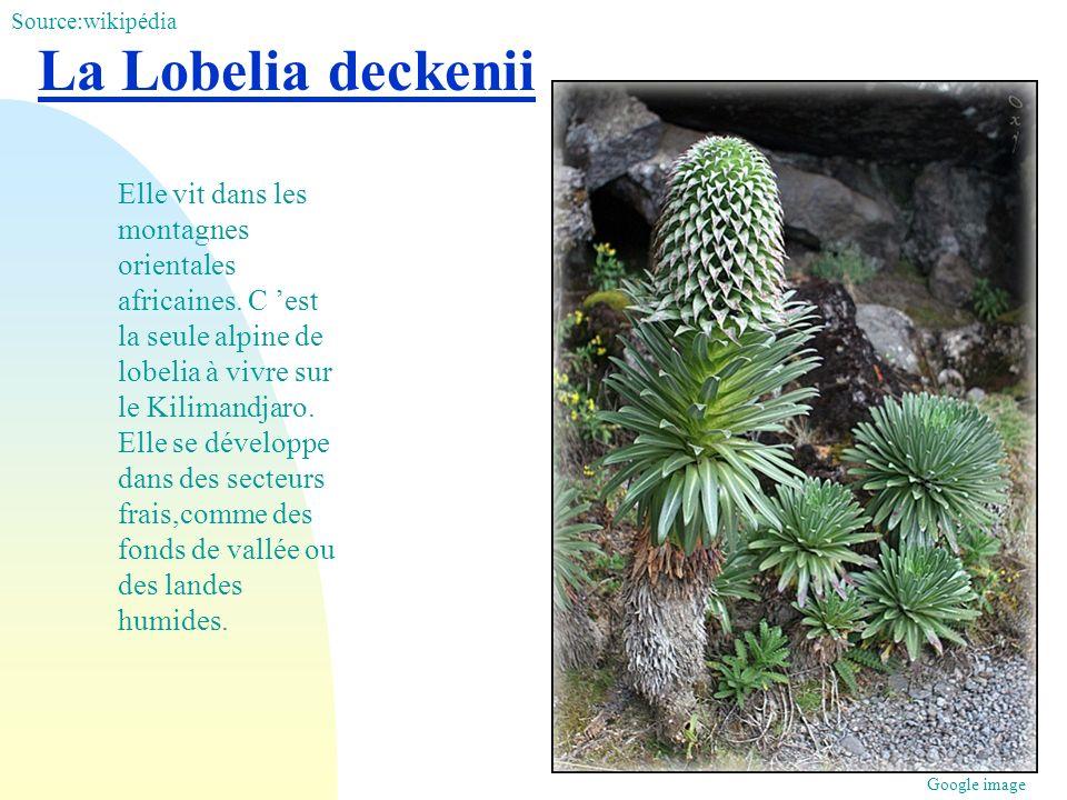 La Lobelia deckenii Elle vit dans les montagnes orientales africaines. C est la seule alpine de lobelia à vivre sur le Kilimandjaro. Elle se développe
