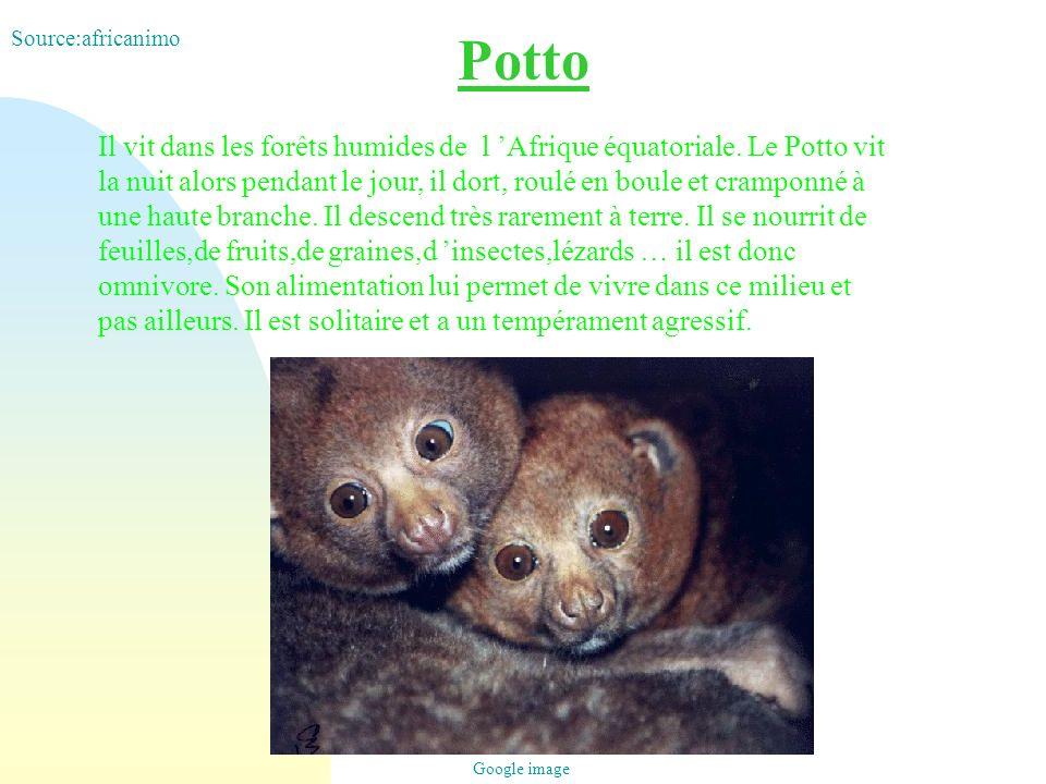 Potto Il vit dans les forêts humides de l Afrique équatoriale. Le Potto vit la nuit alors pendant le jour, il dort, roulé en boule et cramponné à une