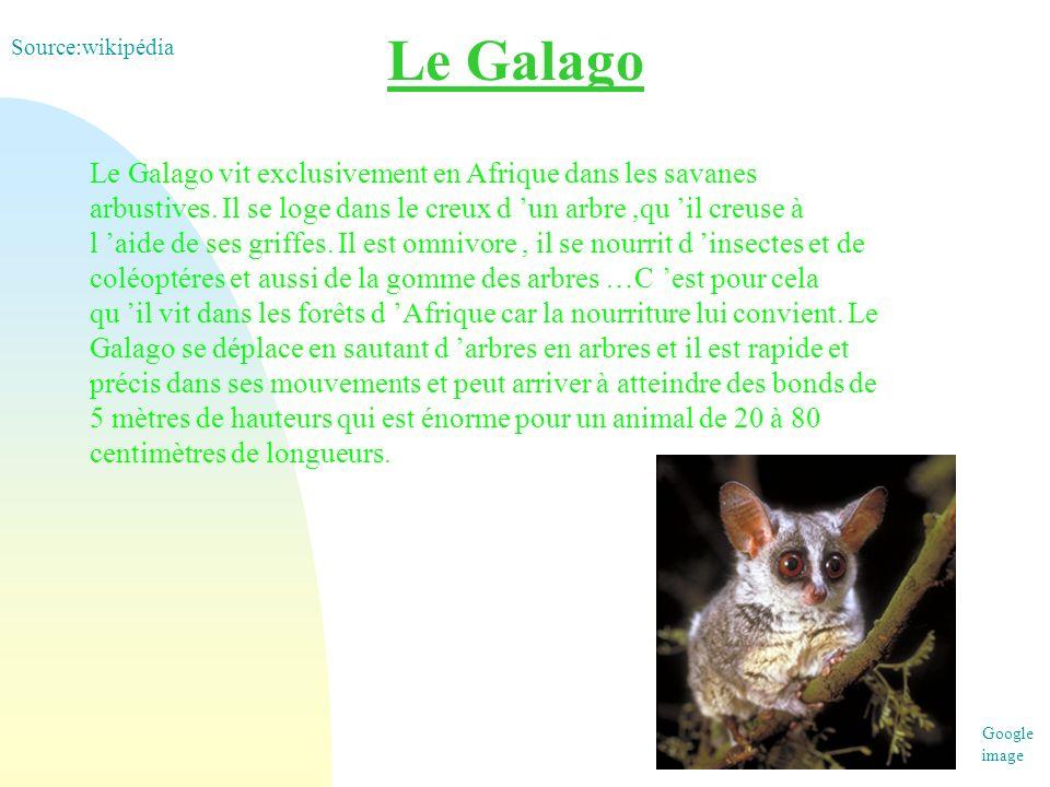 Le Galago Le Galago vit exclusivement en Afrique dans les savanes arbustives. Il se loge dans le creux d un arbre,qu il creuse à l aide de ses griffes