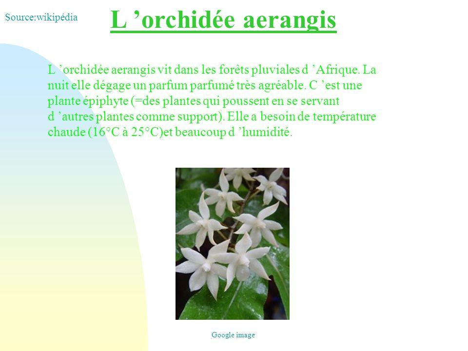 L orchidée aerangis L orchidée aerangis vit dans les forêts pluviales d Afrique. La nuit elle dégage un parfum parfumé très agréable. C est une plante