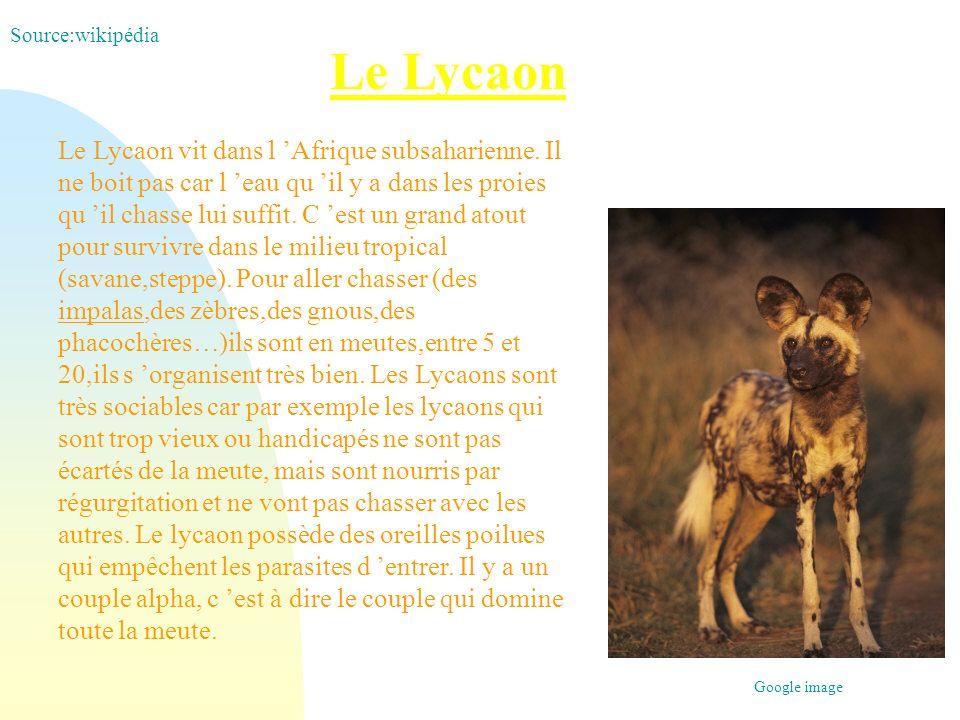 Le Lycaon Le Lycaon vit dans l Afrique subsaharienne. Il ne boit pas car l eau qu il y a dans les proies qu il chasse lui suffit. C est un grand atout