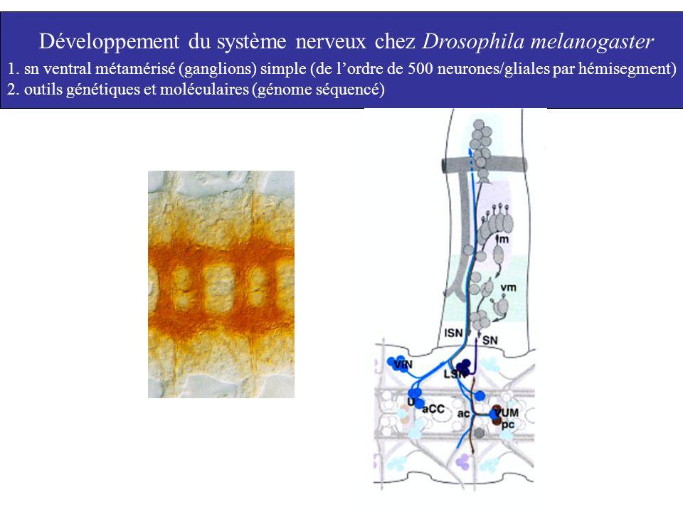 Développement du système nerveux chez Drosophila melanogaster 1. sn ventral métamérisé (ganglions) simple (de lordre de 500 neurones/gliales par hémis