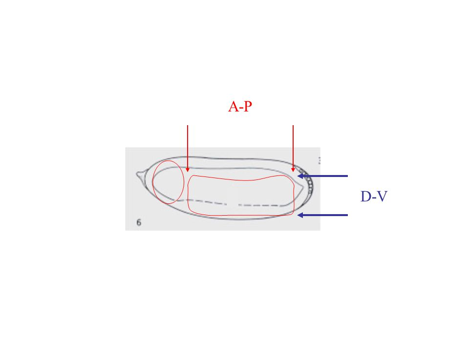 A-P D-V