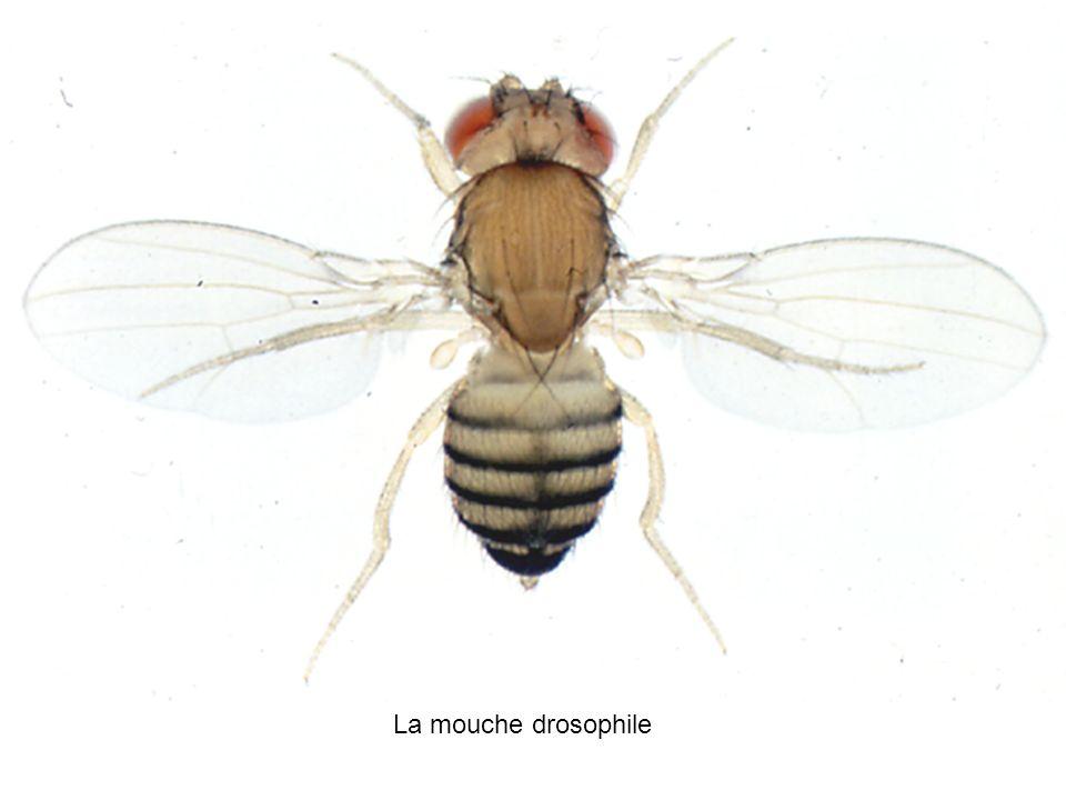 La mouche drosophile A5