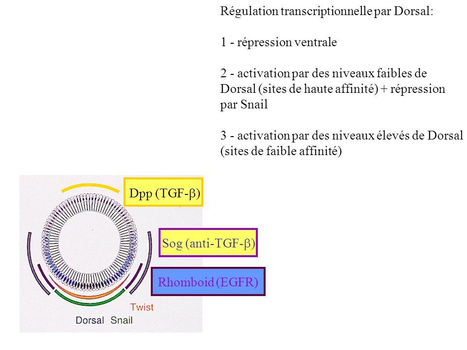 Dpp (TGF- ) Sog (anti-TGF- ) Rhomboid (EGFR) Régulation transcriptionnelle par Dorsal: 1 - répression ventrale 2 - activation par des niveaux faibles