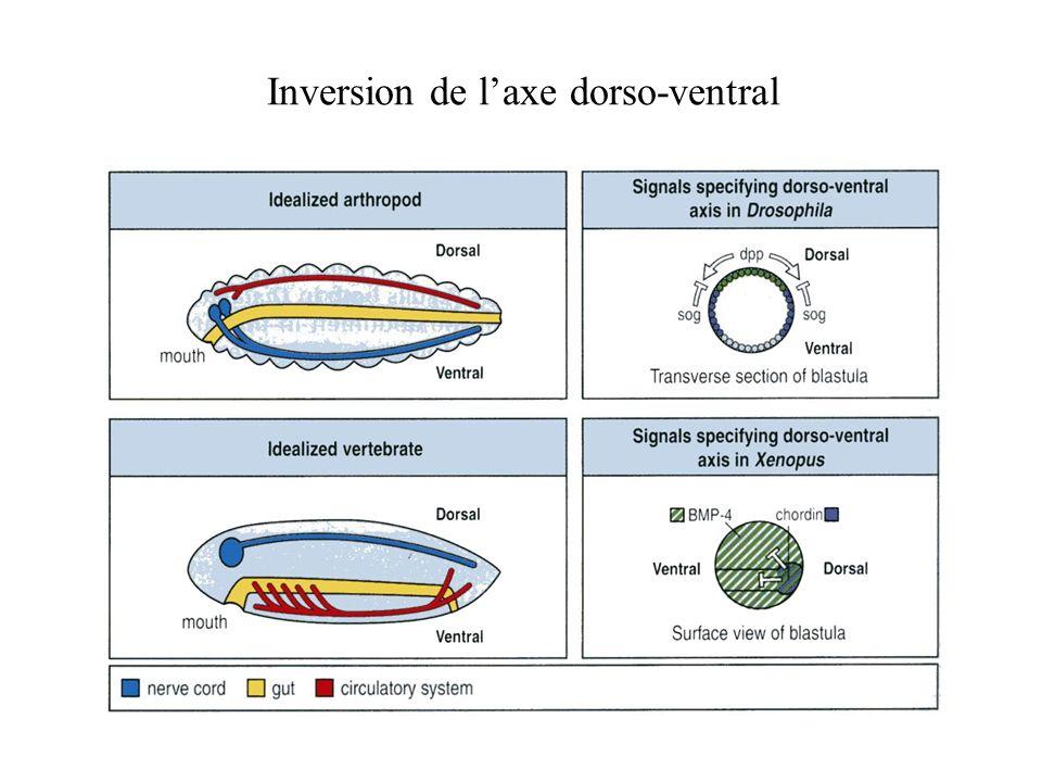 Inversion de laxe dorso-ventral