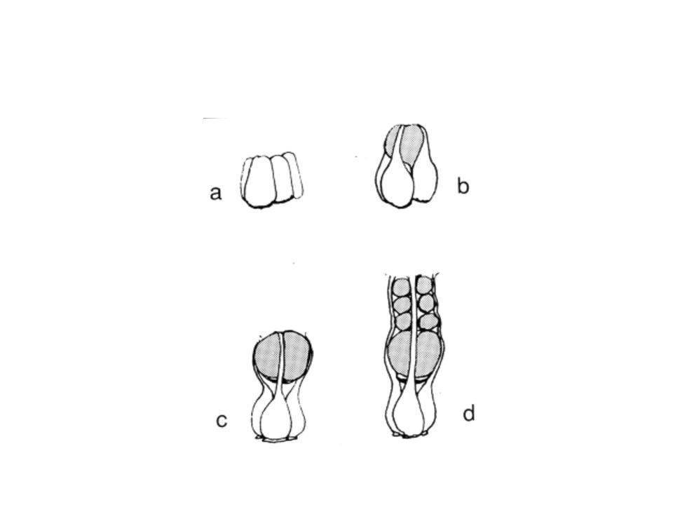 2. détermination des neuroblastes (notions de groupes d équivalence et d inhibition latérale) criquet
