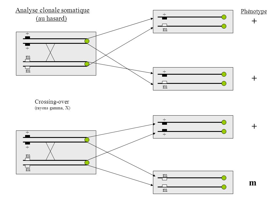 + + m m + + m m + + m m + m + m + m + + Phénotype Analyse clonale somatique (au hasard) Crossing-over (rayons gamma, X)