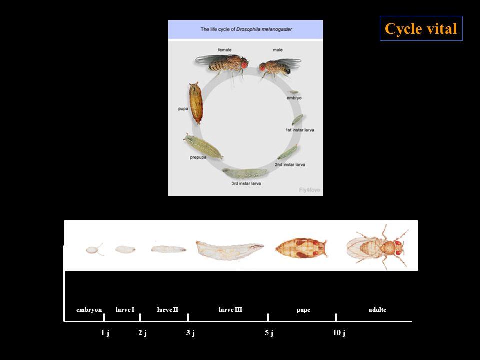 embryonlarve Ilarve IIlarve IIIpupeadulte 10 j1 j2 j3 j5 j Cycle vital