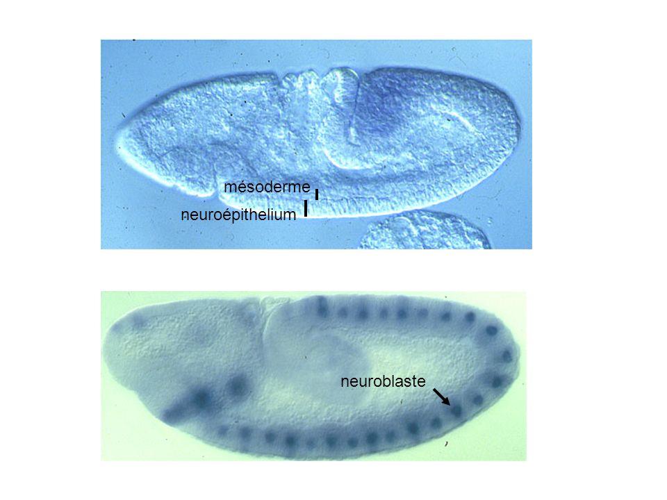 neuroépithelium mésoderme neuroblaste