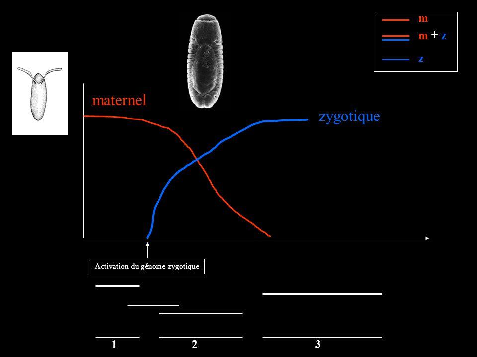 maternel zygotique Activation du génome zygotique m m + z z 123