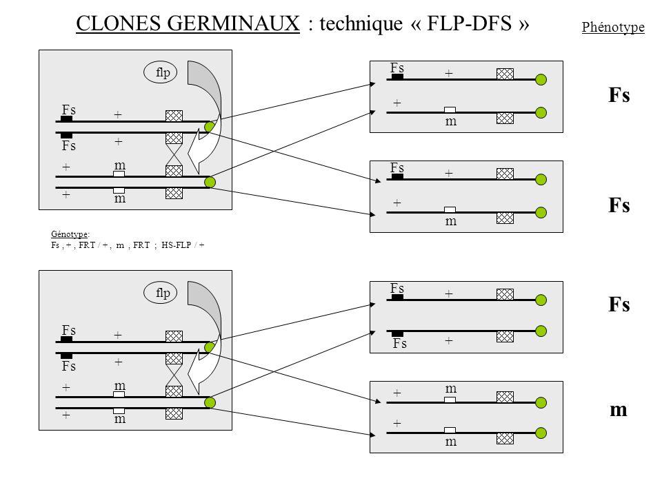 Fs m Phénotype CLONES GERMINAUX : technique « FLP-DFS » Fs m m flp Génotype: Fs, +, FRT / +, m, FRT ; HS-FLP / + + + + + Fs m + + m + + m m flp + + +